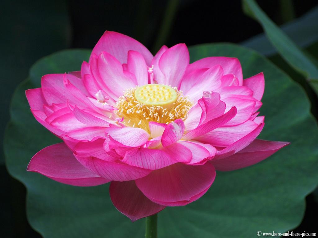 Lotus flower, China