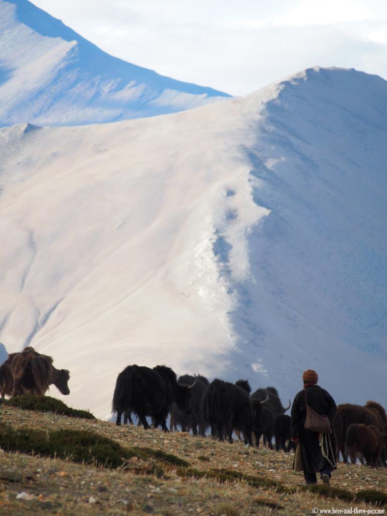 A shepherd with a herd of yaks near Sangtha, in Ladakh