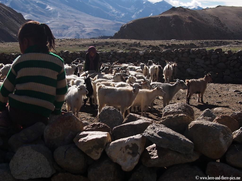 Milking of the pashmina goats, nomads in Korzok